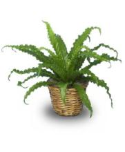 Bird Nest Fern Plant
